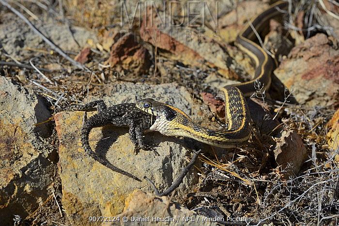Checkered garter snake (Thamnophis marcianus) eating Yarrow spiny lizard ( Sceloporus jarrovii)  Chiricahua mountains. Arizona, USA. May. Controlled conditions
