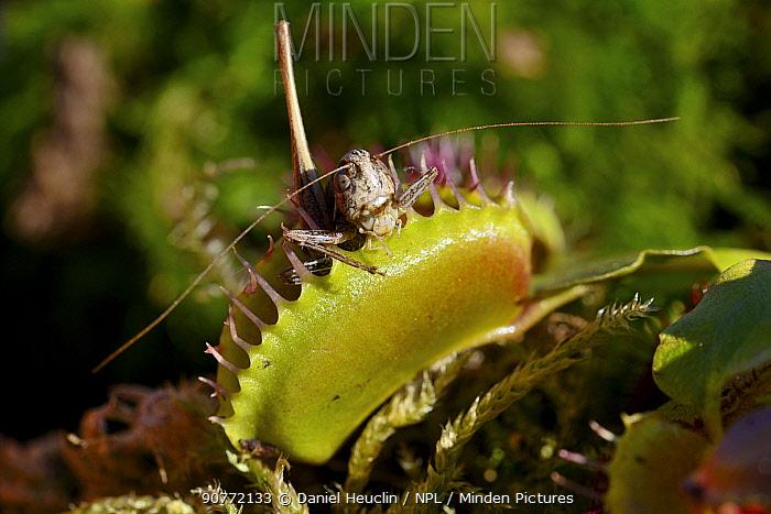 Venus flytrap (Dionaea muscipula) with grasshopper prey, USA