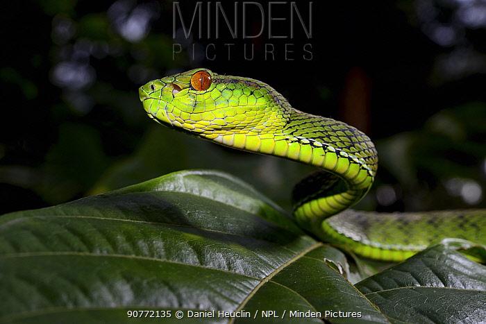 Sabah pit viper (Trimeresurus  sabahi) portrait, Siberut island. West Sumatra