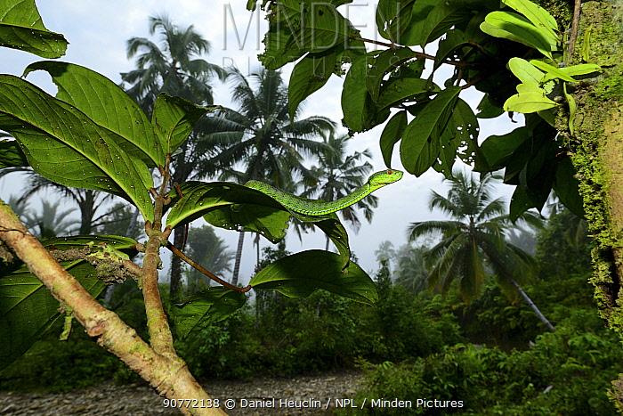 Sabah pit viper (Trimeresurus sabahi) in tree, Siberut island. West Sumatra