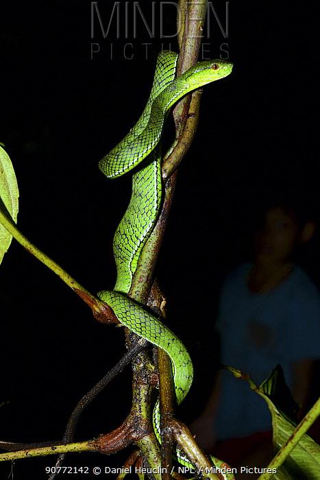 Sabah pit viper (Trimeresurus  sabahi) Siberut island. West Sumatra
