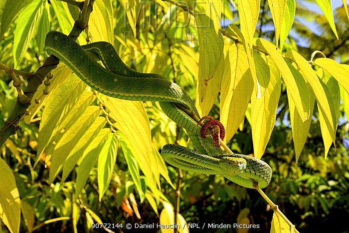 Hagen's pit viper (Trimeresurus hageni) in tree, Sumatra.