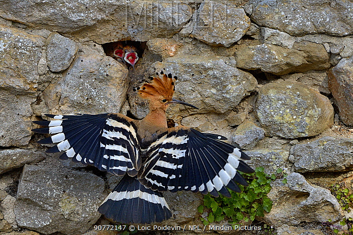Eurasian hoopoe (Upupa epops) at nest in stone wall with hungry chicks gaping, Vendee, France, June