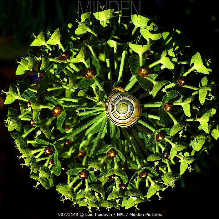 Grove Snail (Cepaea nemoralis) on Mediterranean spurge (Euphorbia characias) flower, Vendee, France, April