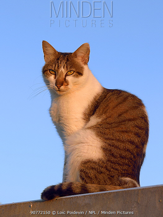 Domestic cat sitting on wall, France, April.