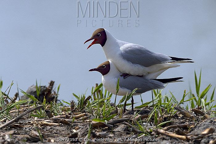 Black-headed gull (Chroicocephalus ridibundus) pair mating, Brenne, France, May