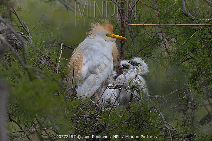 Western Cattle Egret (Bubulcus ibis) adult on the nest with chicks, Camargue, France, May