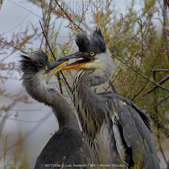 Grey heron (Ardea cinerea) chicks fighting on the nest, Pont de Gau,  Camargue, France, May