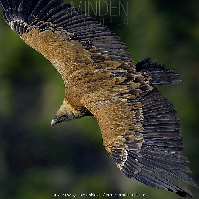 Griffon Vulture (Gyps fulvus) flying, Remuzat, Drome, France, May