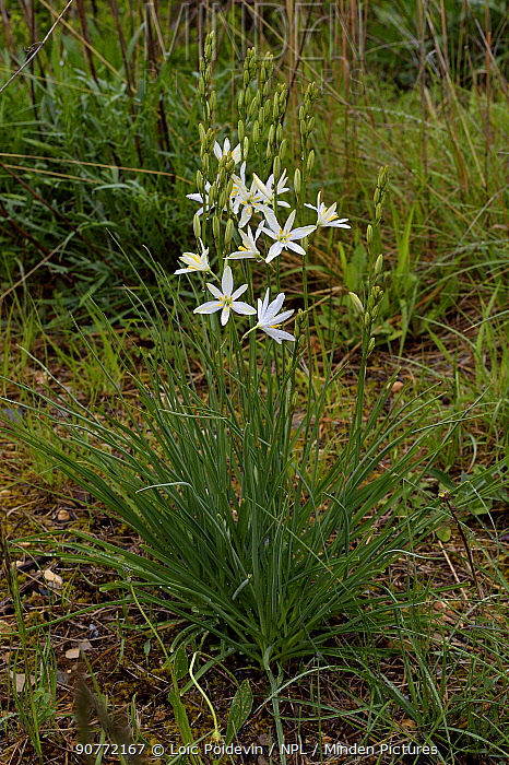 St Bernard's lily (Anthericum liliago) flower, Gorges du Tarn,  France,  May
