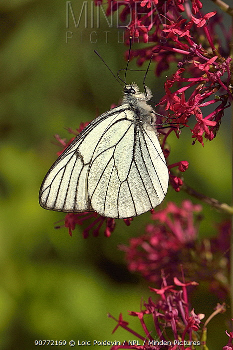 Black -veined white (Aporia crataegi) butterfly on Red valerian (Centranthus ruber) flower, Vendee, France,  May,