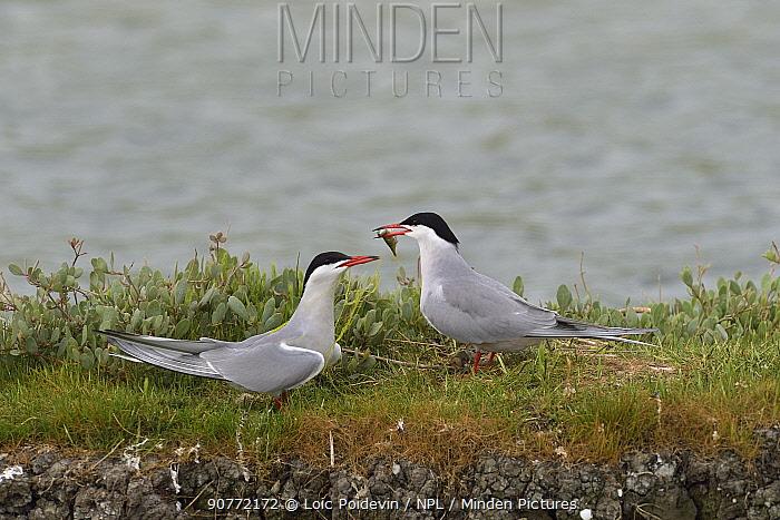 Common tern (Sterna hirundo) offering fish to mate,  Vendeen Marsh, Vendee,  France,  May