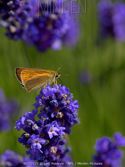 Lulworth skipper (Thymelicus acteon) on flower of Lavender  Vendee,  France, May