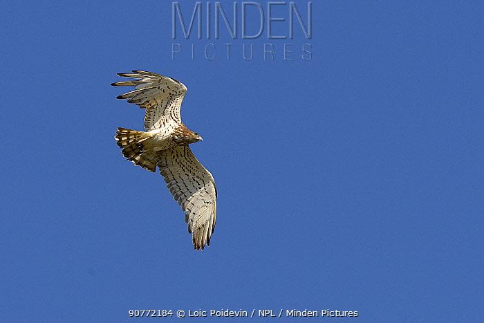 Short-toed snake eagle (Circaetus gallicus) in flight, Vendee,  France,  April