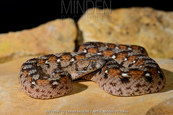 Ocellated carpet viper (Echis ocellatus) captive, from Mauritania to Cameroon.