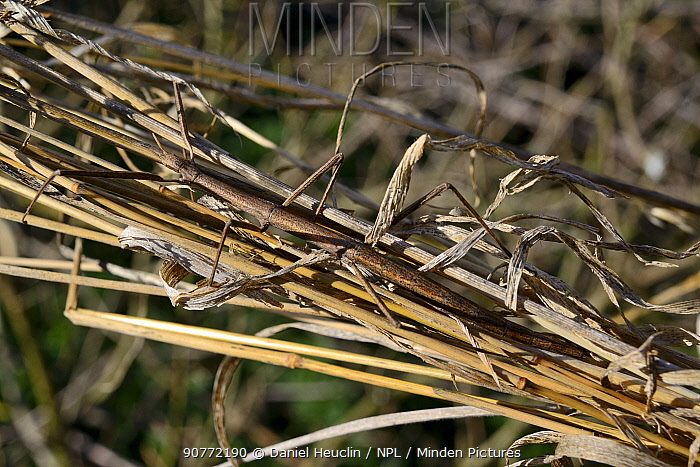 French stick insect (Clonopsis gallica)  camouflaged in grass.