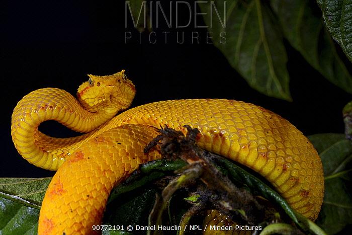 Eyelash pit viper (Bothriechis schlegelii) captive, occurs from Belize Peru.