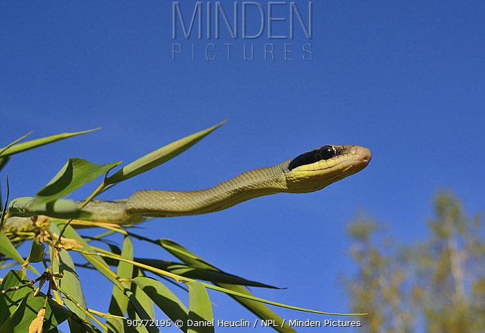Beauty rat snake (Orthriophis taeniurus callicyanous) moving around, Captive.  Occurs in  Vietnam, Cambodia and Thailand.