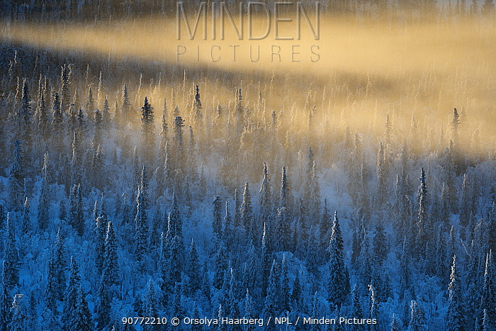 Misty, frost-covered Norway spruce (Picea abies), forest. Muddus National Park, Laponia World Heritage Site, Swedish Lapland, Sweden. December 2016.