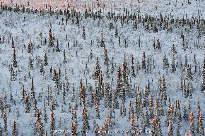 Frost-covered Norway spruce (Picea abies), forest. Muddus National Park, Laponia World Heritage Site, Swedish Lapland, Sweden. December 2016.