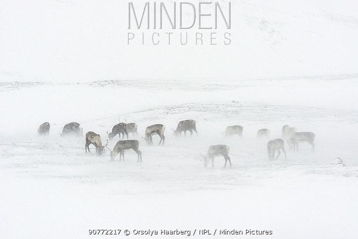 Domestic reindeer (Rangifer tarandus) Sarek National Park, Laponia World Heritage Site, Swedish Lapland, Sweden. December 2016.