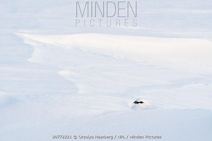 Ptarmigan (Lagopus muta), male resting in a snow hole. Sarek National Park, Laponia World Heritage Site, Swedish Lapland, Sweden.