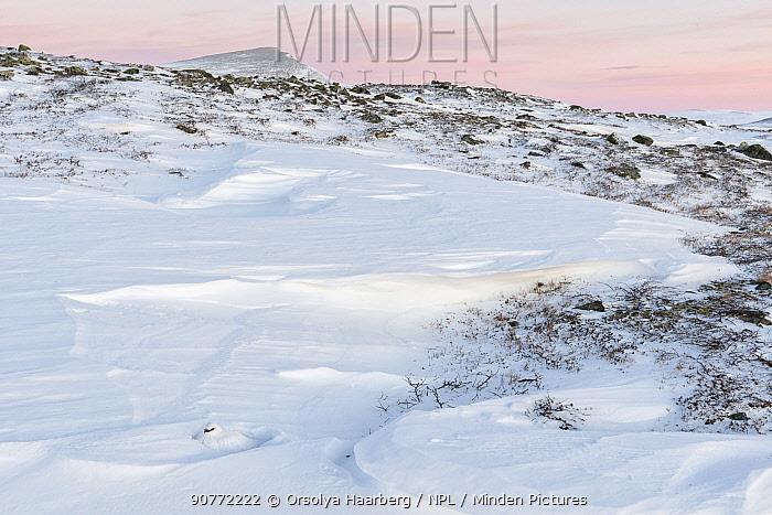 Ptarmigan (Lagopus muta), male resting in a snow hole. Sarek National Park, Laponia World Heritage Site, Swedish Lapland, Sweden. December 2016.