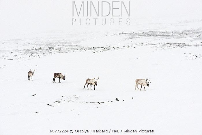 Domestic reindeer (Rangifer tarandus) Sarek National Park, Laponia World Heritage Site, Swedish Lapland, Sweden.