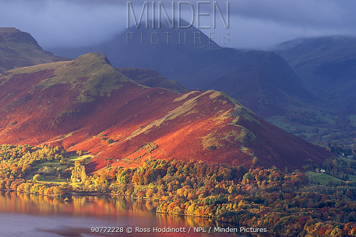 Catbells and the edge of Derwentwater bathed in early morning light and autumnal colours, Latrigg, Keswick, The Lake District, Cumbria, UK. November 2016.
