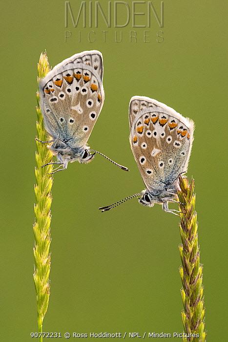 Common blue butterflies (Polyommatus icarus) resting on grasses, Vealand Farm, Devon, UK. June 2017