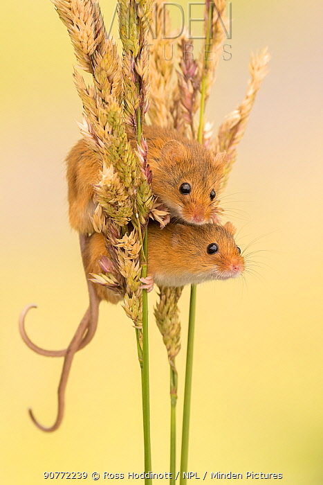 Harvest mice (Micromys minutus) on grass stems, Devon, UK. July 2016. Captive.