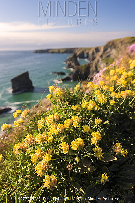 Kidney vetch (Anthyllis vulneraria) flowering on cliff tops, Bedruthan Steps, near Newquay, north Cornwall, UK. April 2017.