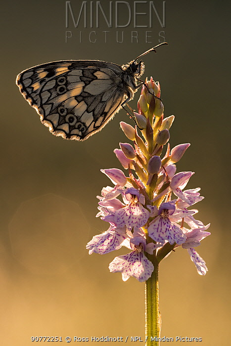 Marbled White butterfly (Melanargia galathea) resting on common spotted orchid, Dunsdon Nature Reserve, Devon, UK. July 2015.