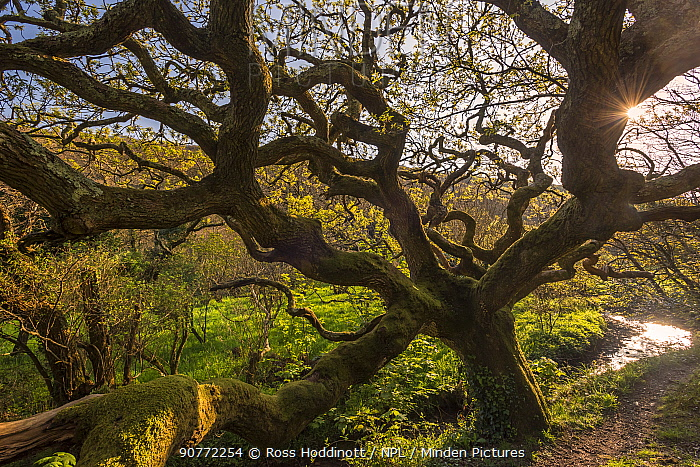 Ancient oak tree (Quercus robur), Marsland Mouth, Devon Wildlife Trust, Devon, UK. April 2017.