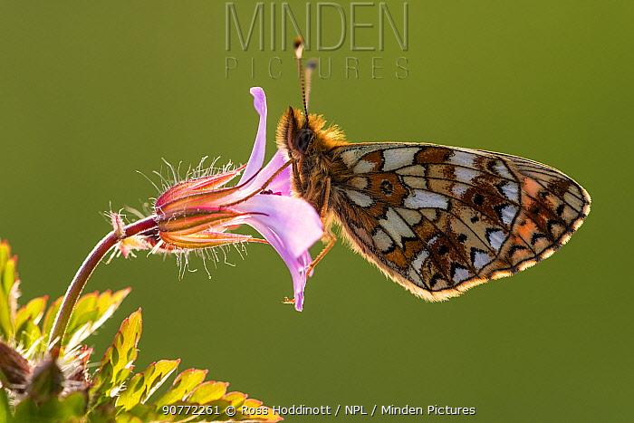 Small pearl-bordered fritillary butterfly (Boloria selene), Marsland mouth, Cornwall, UK. JUne 2016.
