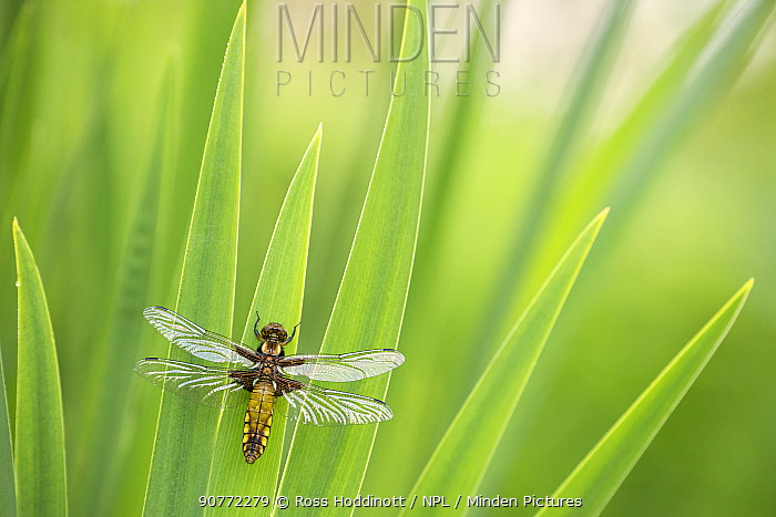 Broad bodied chaser dragonfly (Libellula depressa), newly emerged, resting on reeds,Broxwater, Cornwall, UK. April 2017.