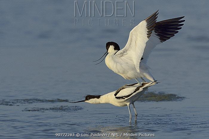 Pied Avocet (Recurvirostra avosetta) pair mating in water, Vendee, France, April