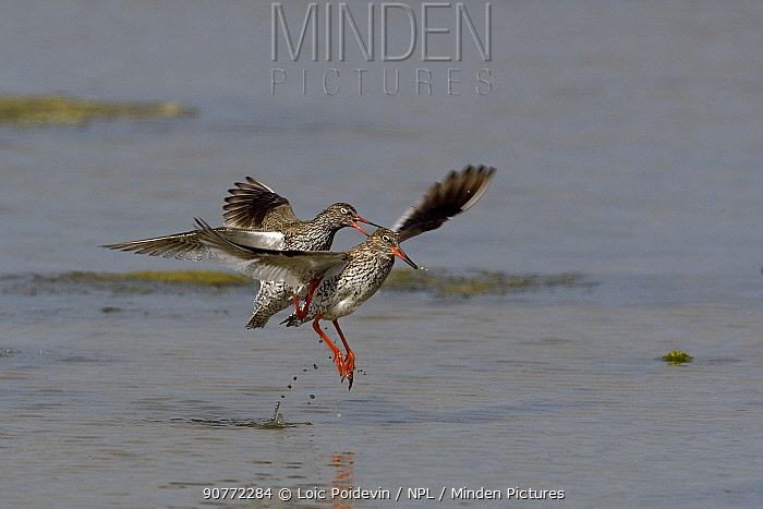 Common redshank (Tringa totanus) male attempting to mate with female who is taking off, Vendee, France, April,