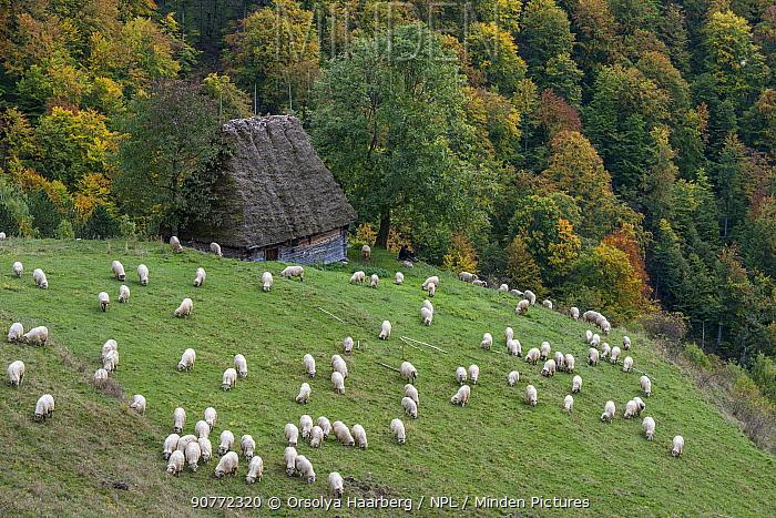 Flock of sheep, shepherd and his dog nearby Posaga de Sus. Alba county, Transylvania, Romania. October 2011.