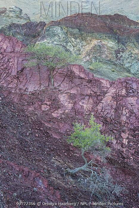 Solitary tree in dry mountain landscape. Sedimentary rocks in the Hajar Mountains. United Arab Emirates. November 2015.