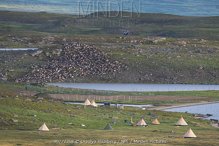 Sami camp where they collect their reindeer for calf marking, Lake Slappejaure. They use helicopter and motorcycles for moving the herd. Padjelanta National Park, Laponia World Heritage Site, Swedish Lapland, Sweden. December 2016.
