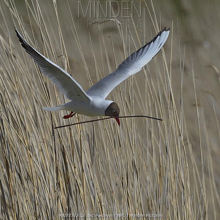 Black-headed gull (Chroicocephalus ridibundus) carrying nesting material, Brenne, France, May