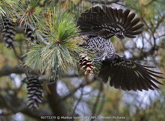 Spotted nutcracker (Nucifraga caryocatactes) feeding on pine cone, Joensuu, Finland, September