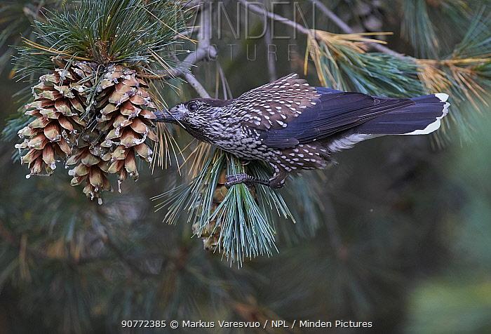 Spotted Nutcracker (Nucifraga caryocatactes) feeding from pine cones, Joensuu, Finland, September.