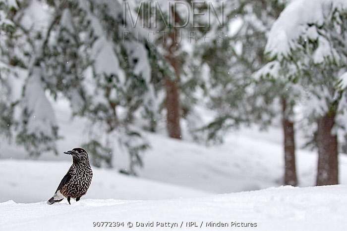 Spotted nutcracker (Nucifraga caryocatactes) in snowy forest, Crans Montana, the Alps, Wallis, Switzerland. February