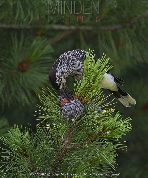 Spotted nutcracker, (Nucifraga caryocatactes),feeding on pine cone, Finland, July.