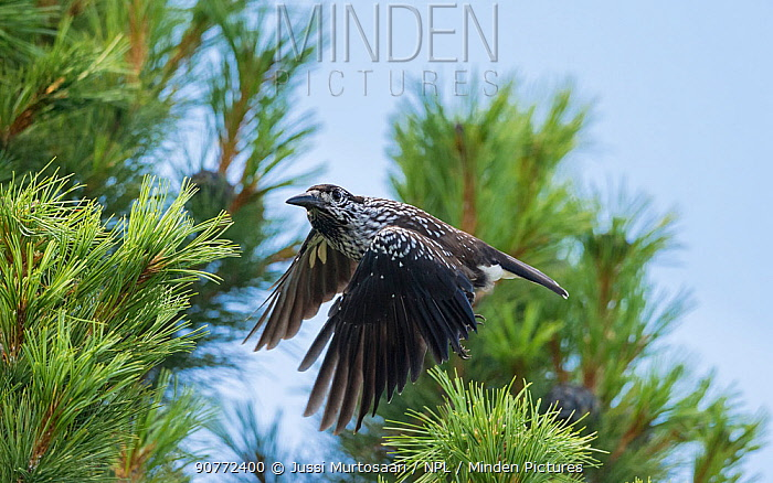 Spotted nutcracker, (Nucifraga caryocatactes) in flight, foraging for pine conees, Finland, July.
