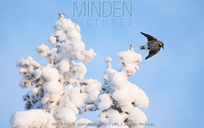 Spotted nutcracker, (Nucifraga caryocatactes) taking off from snow covered  tree, Finland, January.