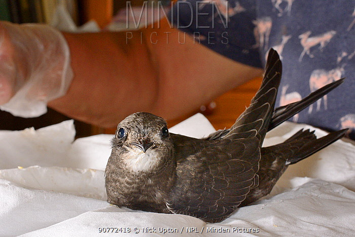 Orphaned Common swift chick (Apus apus) about to be fed with insect food by Judiuth Walelam in her home, Worlington, Suffolk, UK, July. Model released.