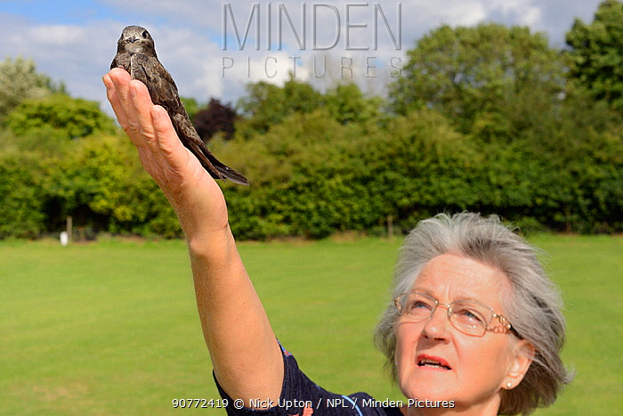 Judith Wakelam releasing an orphaned Common swift chick (Apus apus) she has fostered and fed in her home until it was ready to fly, Worlington, Suffolk, UK, July. Model released.